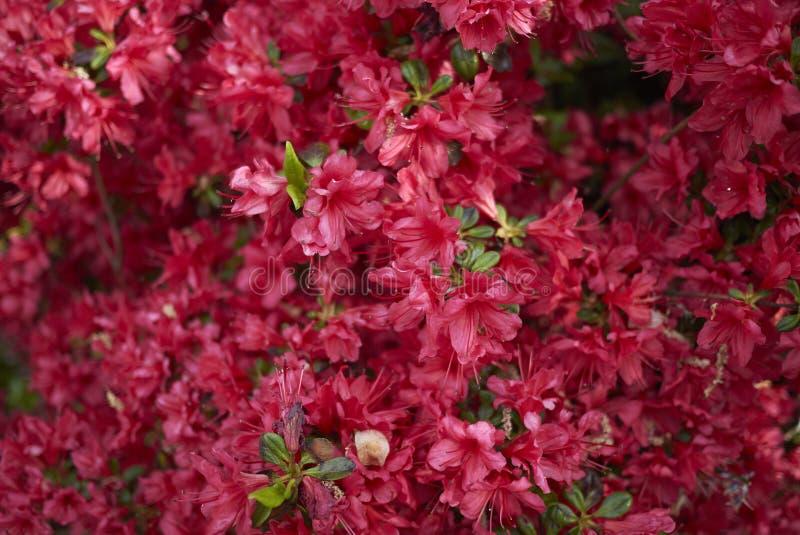 Rhododendron κόκκινα λουλούδια αζαλεών στοκ φωτογραφία