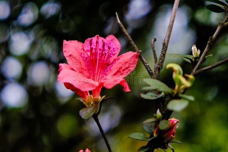 Rhododendron λουλούδι Planch simsii στοκ φωτογραφίες