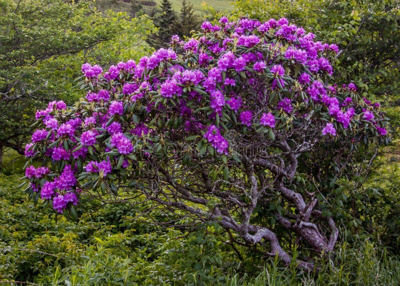 Rhododendron Μπους Gnarly που καλύπτεται στις ανθίσεις στοκ φωτογραφία