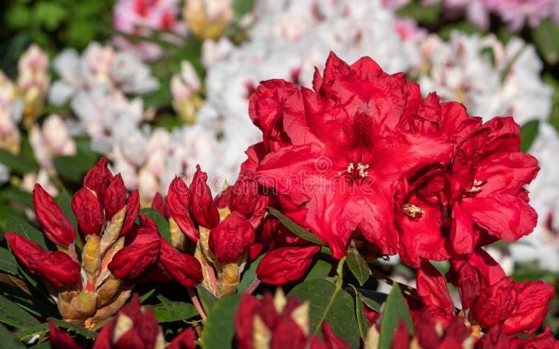 Rhododendron υβριδικό Rabatz στοκ φωτογραφία