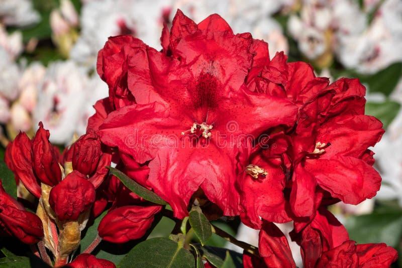 Rhododendron υβριδικό Rabatz στοκ εικόνα με δικαίωμα ελεύθερης χρήσης