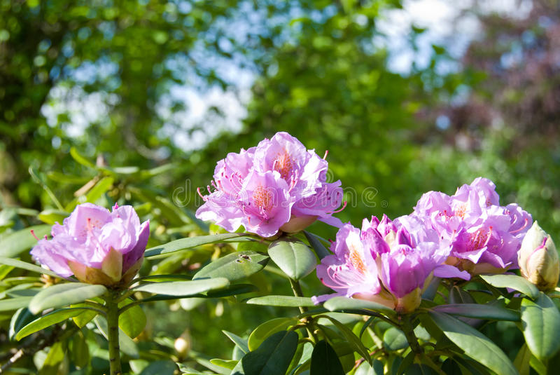 Download Rhododendron. foto de stock. Imagem de detalhe, rosa - 10056380