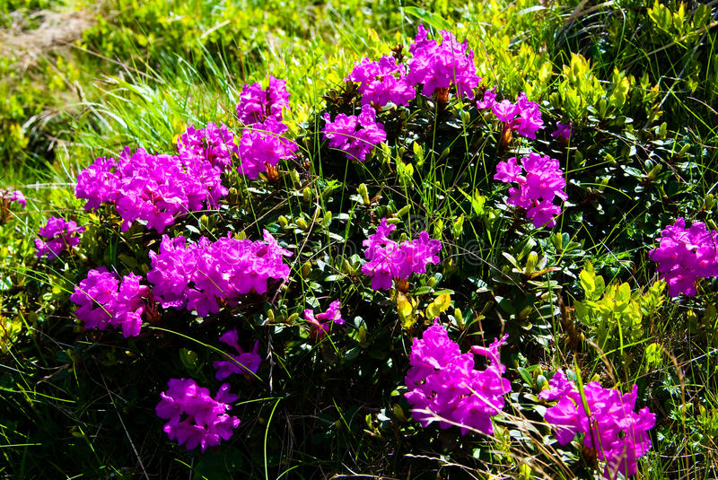Download Rhododendron stock photo. Image of hill, garden, pretty - 14755828