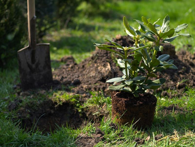 Download Rhododendron stock image. Image of plant, spade, green - 19223911