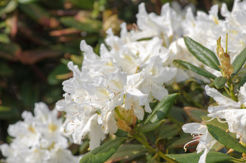 Rhododendron. White rhododendron blossom in the park stock photo