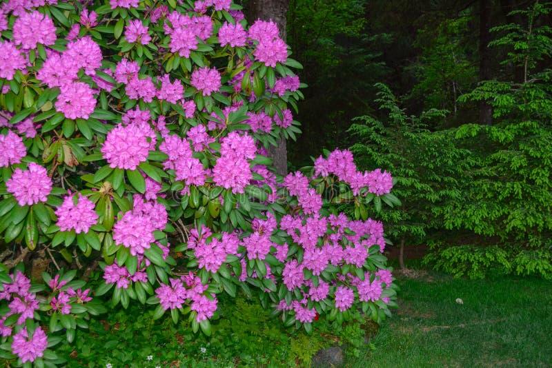 rhododendron arkivfoto