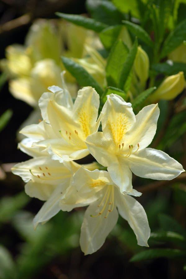 Rhododendron fotos de stock royalty free
