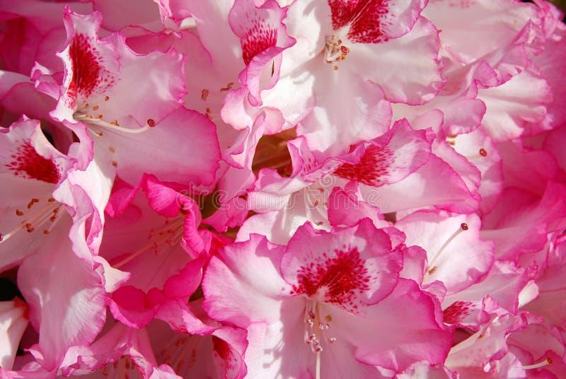 rhododendron arkivbilder