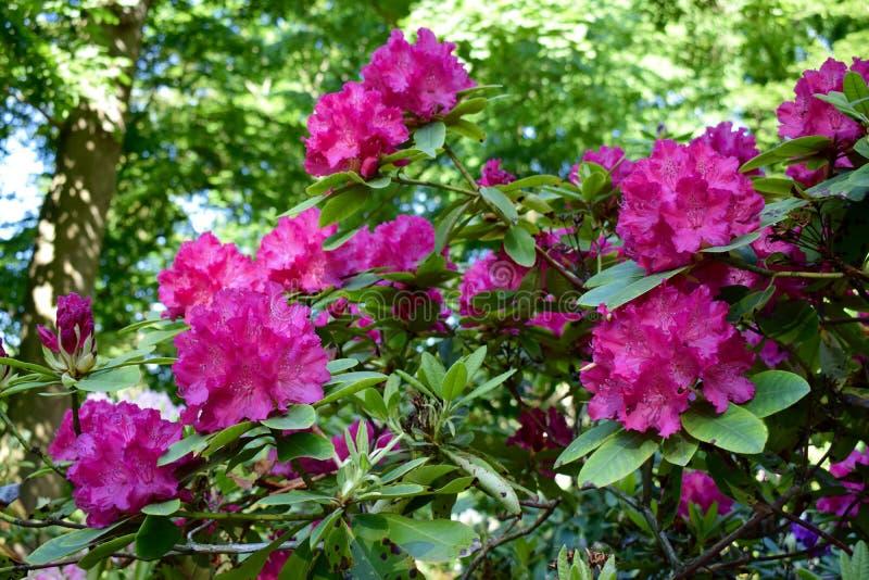 rhododendron royaltyfri foto