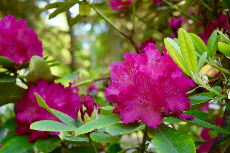 rhododendron royaltyfri bild