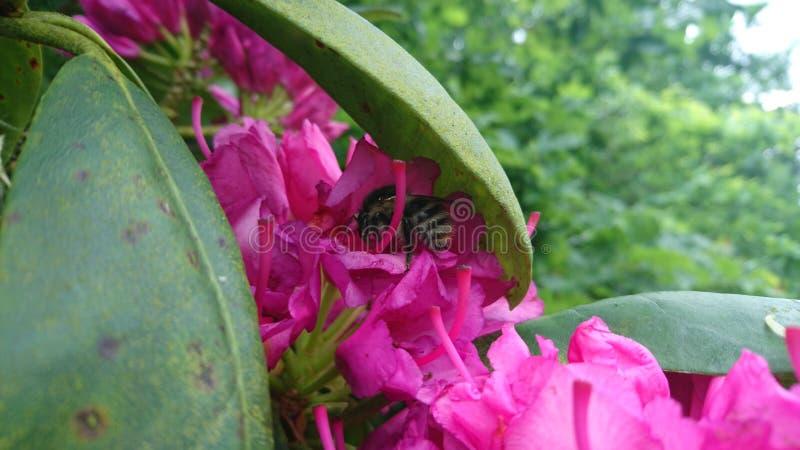 rhododendron image libre de droits