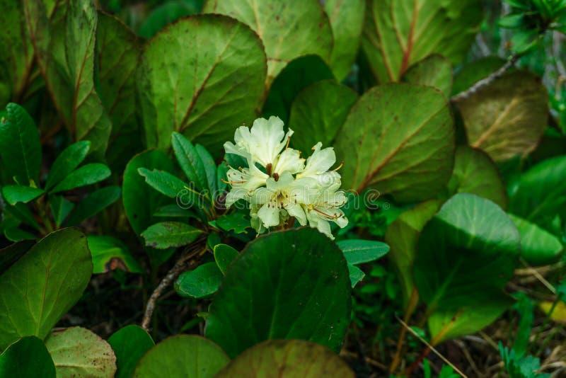 rhododendron imagens de stock royalty free