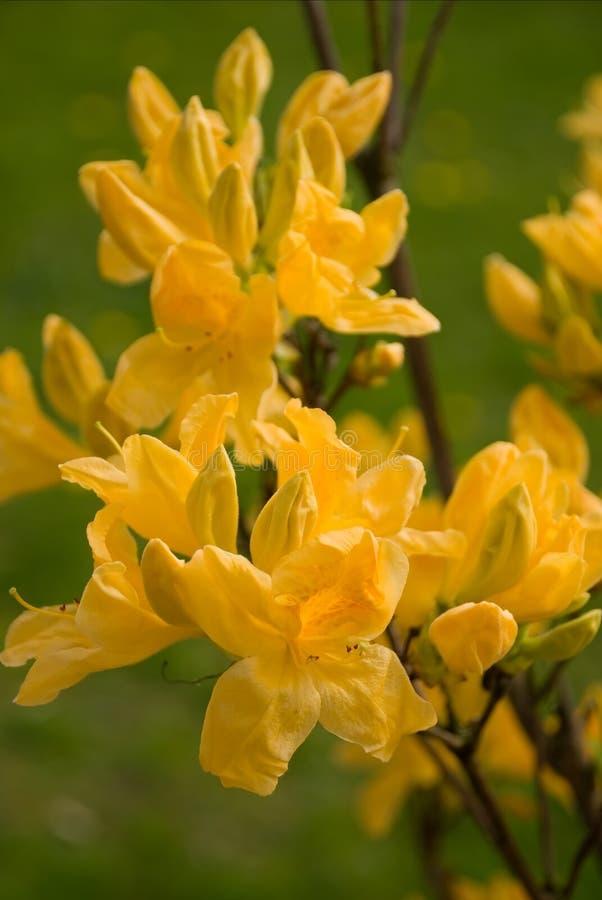 Rhododendron amarelo - azálea foto de stock