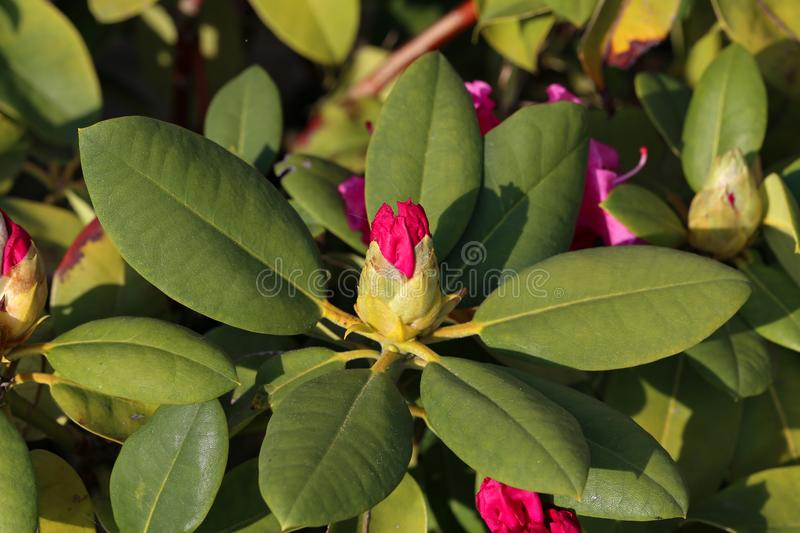 Rhododendron azalea flowers royalty free stock images