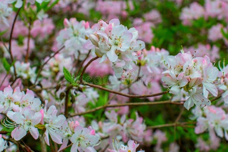Rhododendron beautiful flower. Latvian University Rhododendron nursery `Babite royalty free stock image