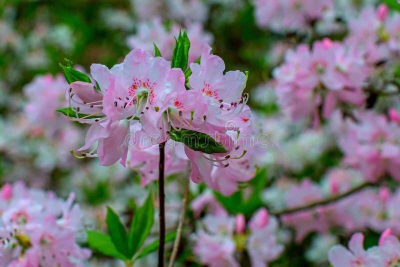 Rhododendron beautiful flower. Latvian University Rhododendron nursery `Babite royalty free stock photography