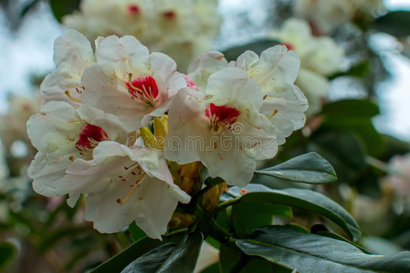 Rhododendron beautiful flower. Latvian University Rhododendron nursery `Babite royalty free stock images