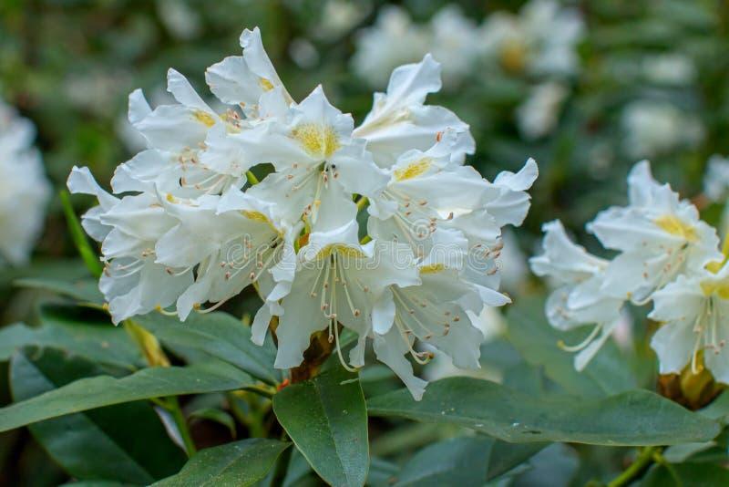 Rhododendron beautiful flower. Latvian University Rhododendron nursery `Babite stock photography