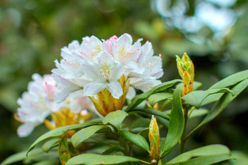 Rhododendron beautiful flower. Latvian University Rhododendron nursery `Babite royalty free stock photo