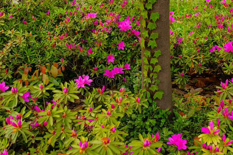 Rhododendron royalty free stock photos