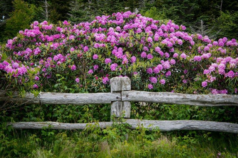 Rhododendron-Blüte über Beitrag des Zauns stockbild