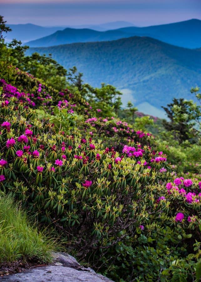 Rhododendron-Blüte in blauem Ridge Mountains stockbilder