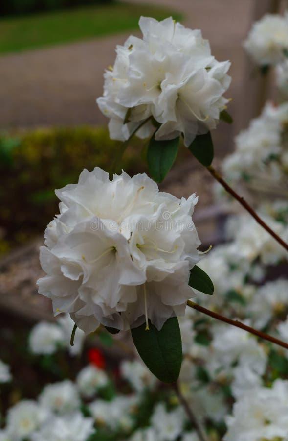 Rhododendron blanc dans le jardin, premier ressort photographie stock libre de droits