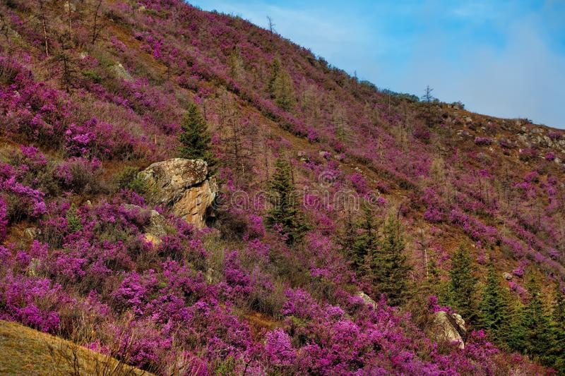Rhododendron bloom. Russia. Mountain Altai. Chuyskiy tract in the period of the flowering of Maralnik Rhododendron royalty free stock photos