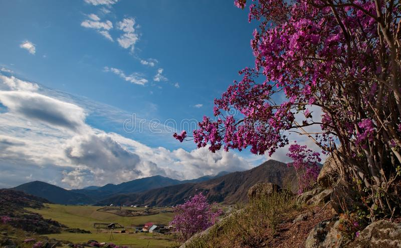 Rhododendron bloom. Russia. Mountain Altai. Chuyskiy tract in the period of the flowering of Maralnik Rhododendron stock image
