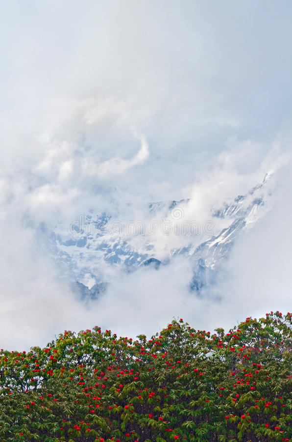 Rhododendron blooming trees and Mountain surrounded by clouds. Mount Cloudy Landscape in Himalaya. royalty free stock photos