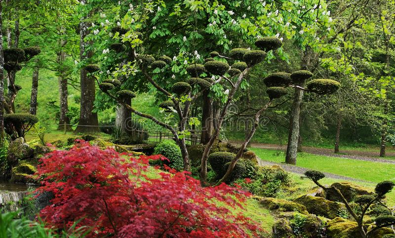 Rhododendron   blossom  and  topiary  art  in Maulivrier Japanese royalty free stock photography
