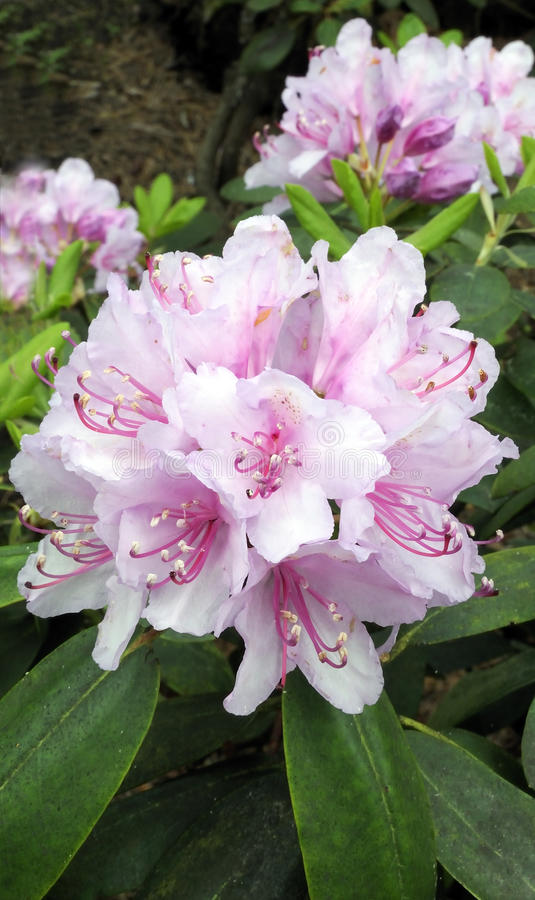Rhododendron in Blossoming stock photography