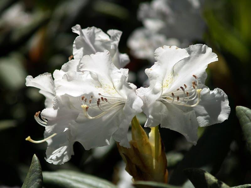 Rhododendron branco fotos de stock royalty free