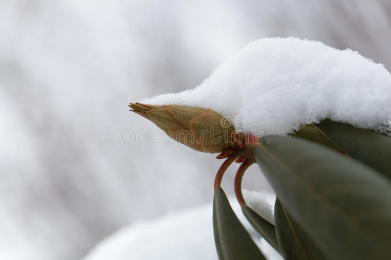 Rhododendron buds and leaves under snow and ice royalty free stock images