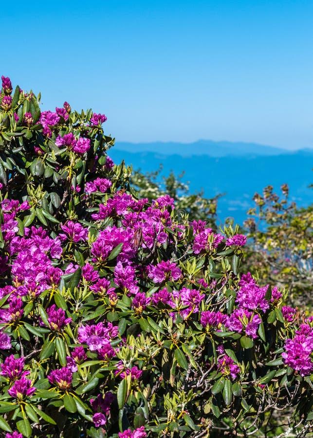 Rhododendron Bush bedeckt in der Blüte stockbild
