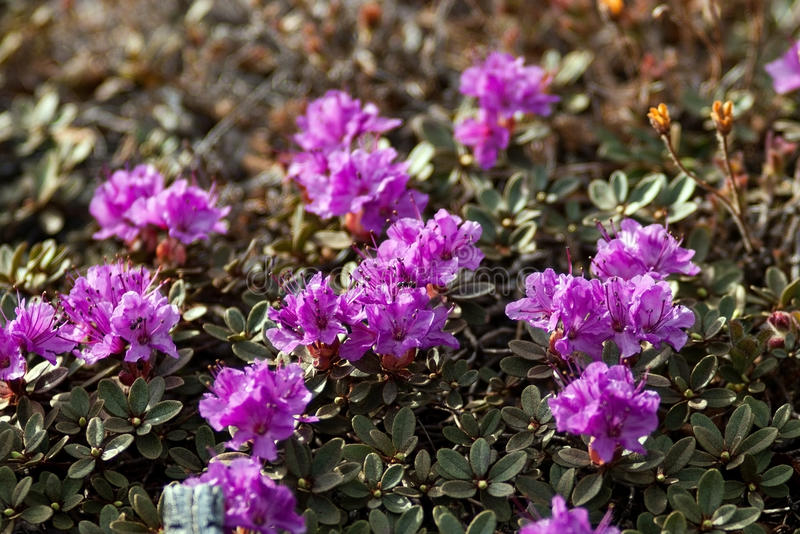 Rhododendron camtschaticum Hülle stockfotos