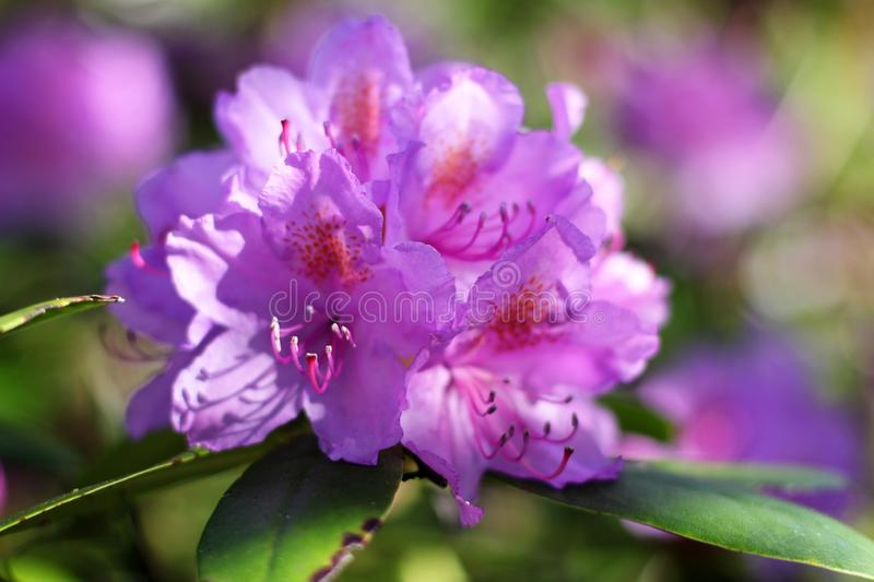 Rhododendron close up stock photography