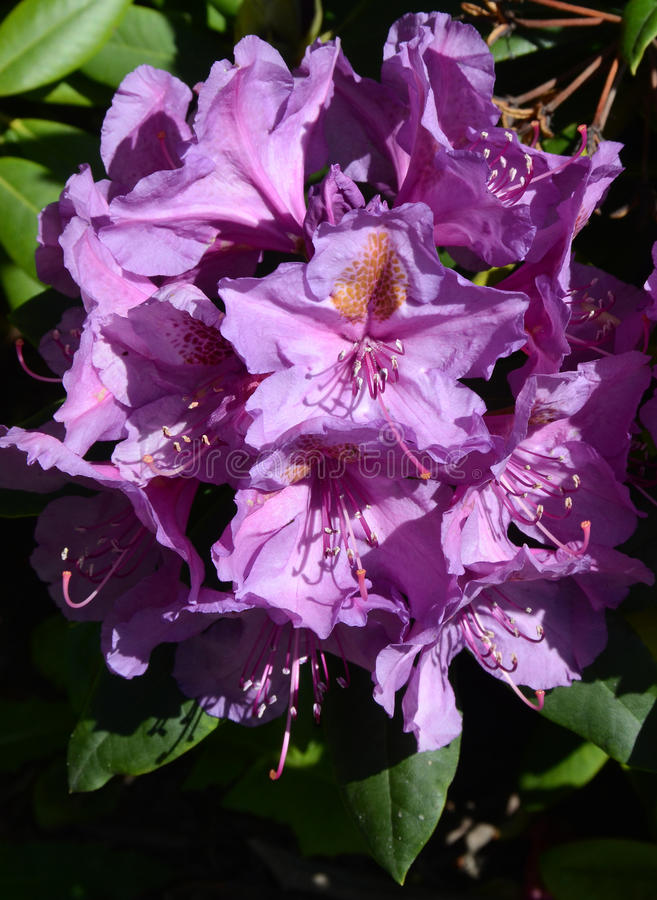 Download Rhododendron stock photo. Image of closeup, botanical - 94058092