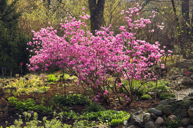 Rhododendron coréen images stock