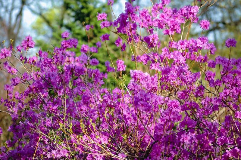 Rhododendron coréen dans le jardin photos stock