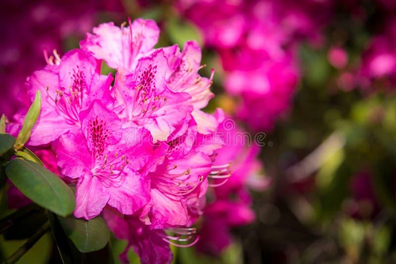 Rhododendron cor-de-rosa imagens de stock