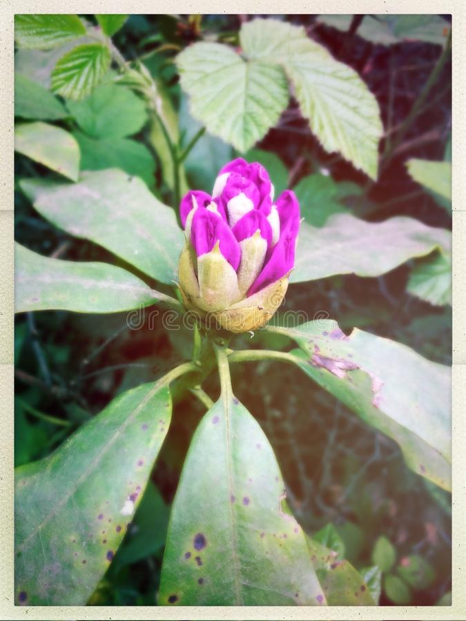 Rhododendron cor-de-rosa imagem de stock