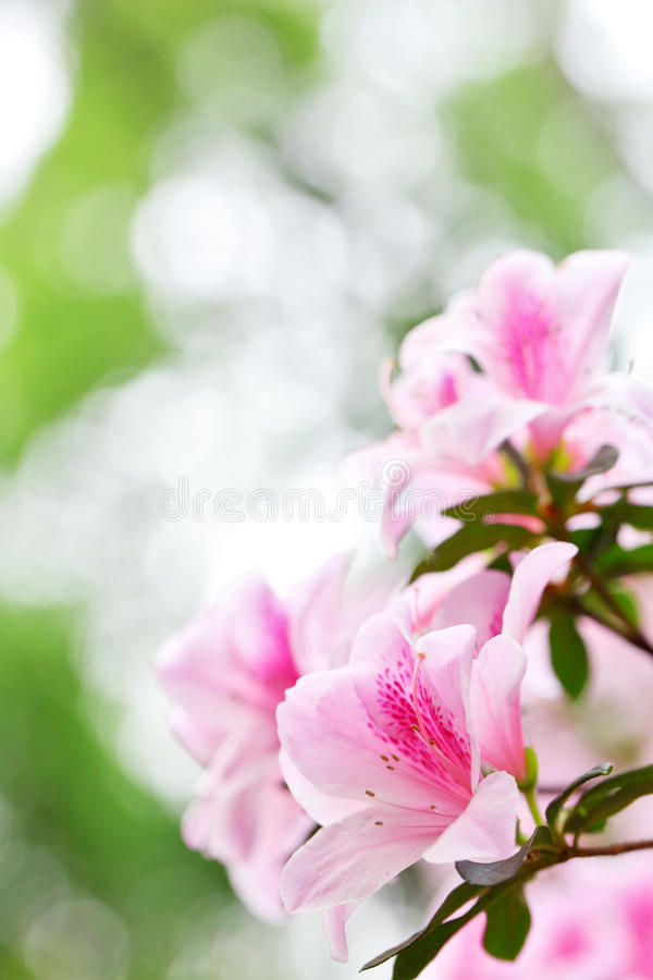 Rhododendron d'azalée images libres de droits