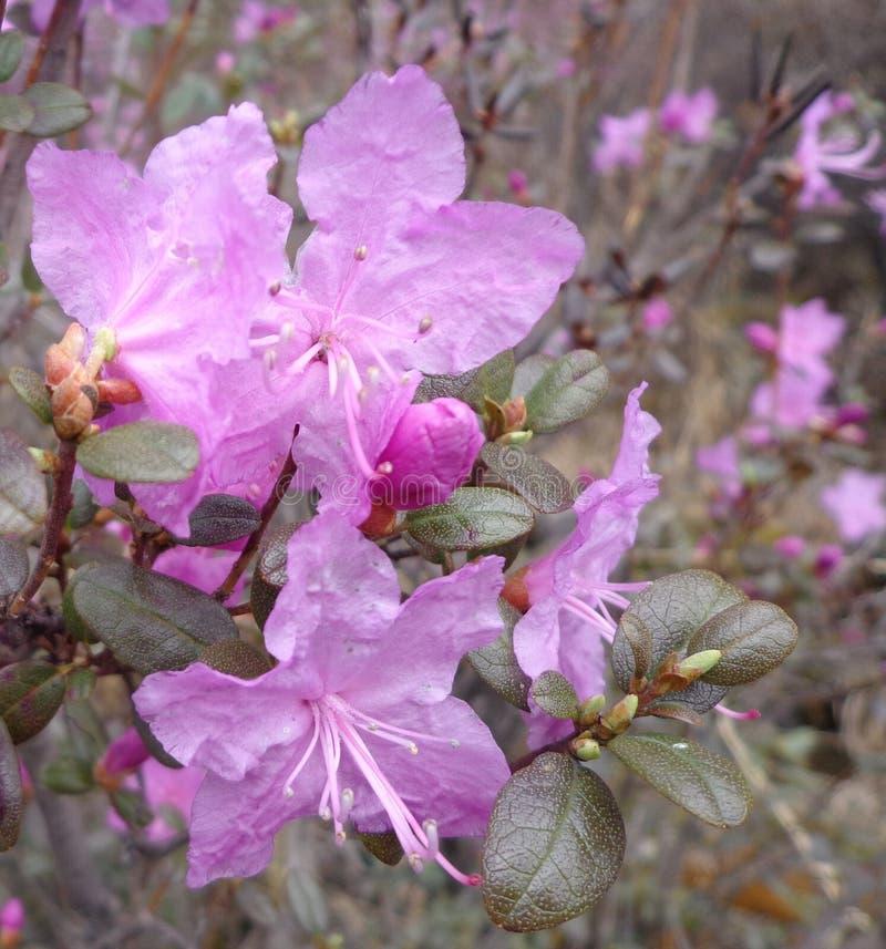 Rhododendron Dahurian στοκ εικόνες με δικαίωμα ελεύθερης χρήσης