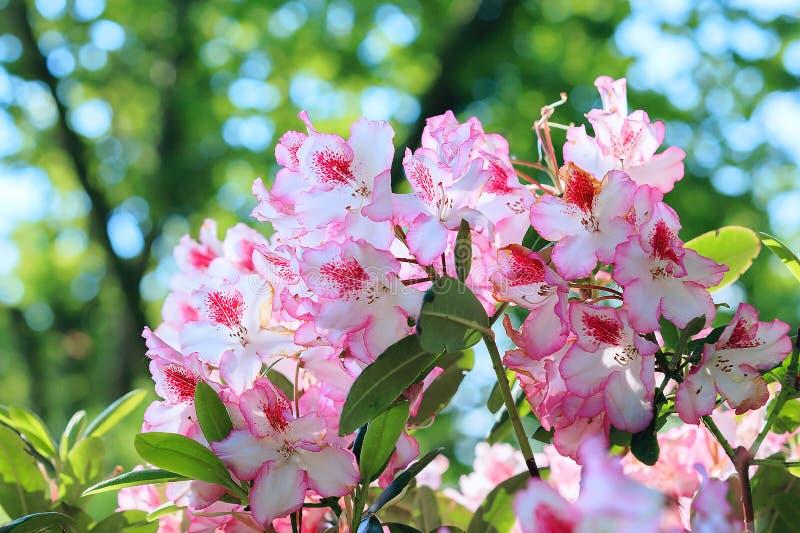 Rhododendron dans le jardin image libre de droits