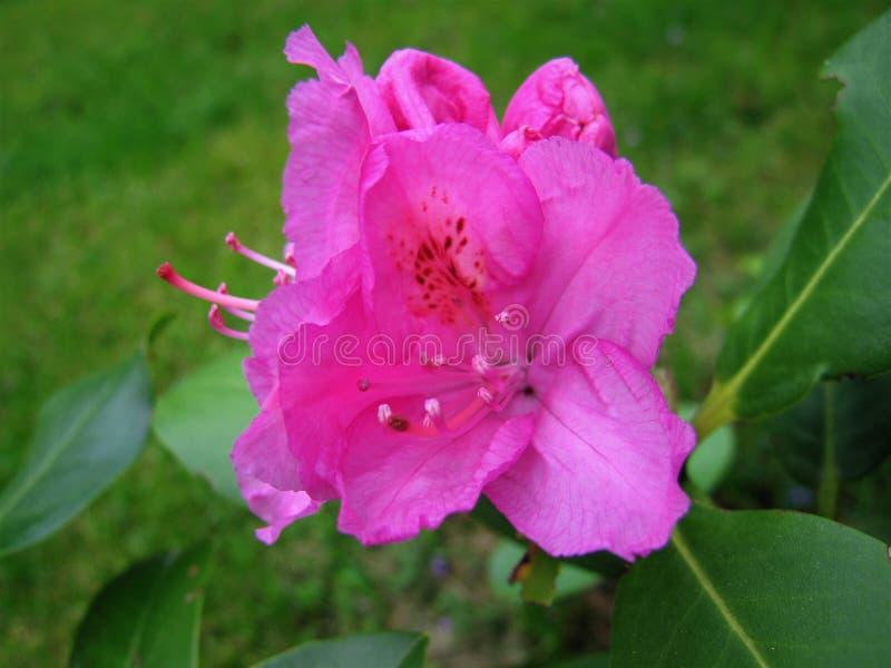 Rhododendron de fleur photographie stock libre de droits