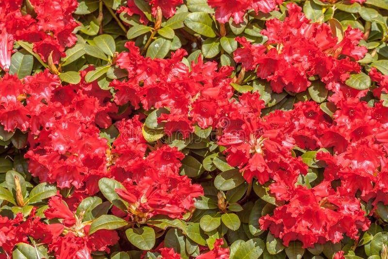 Download Rhododendron de floraison image stock. Image du botanique - 45350261