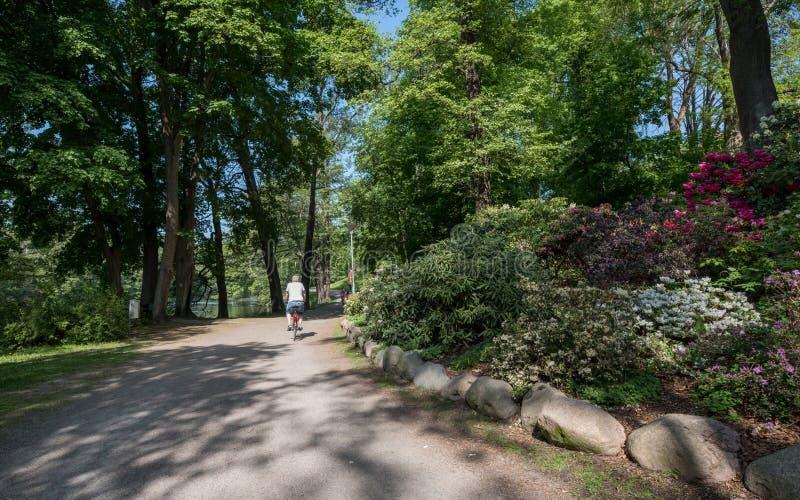Rhododendron, der während des Frühlinges in Schweden blüht lizenzfreie stockbilder