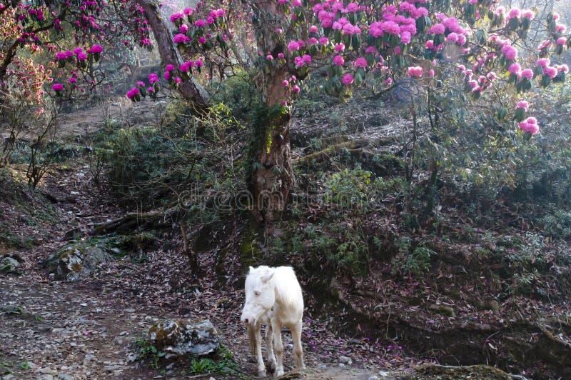 Rhododendron et cheval - Népal images libres de droits