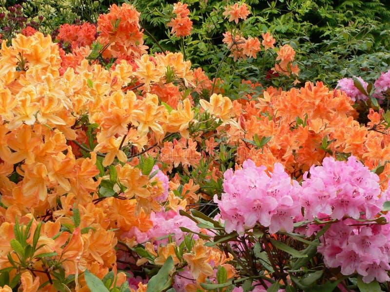 rhododendron för 2 edinburgh fotografering för bildbyråer